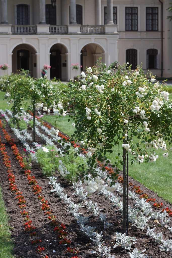 róże pienne doogrodu