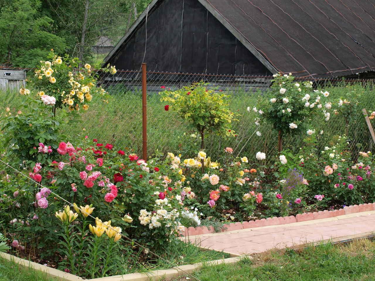 Najciekawsze róże pienne doTwojegoogrodu