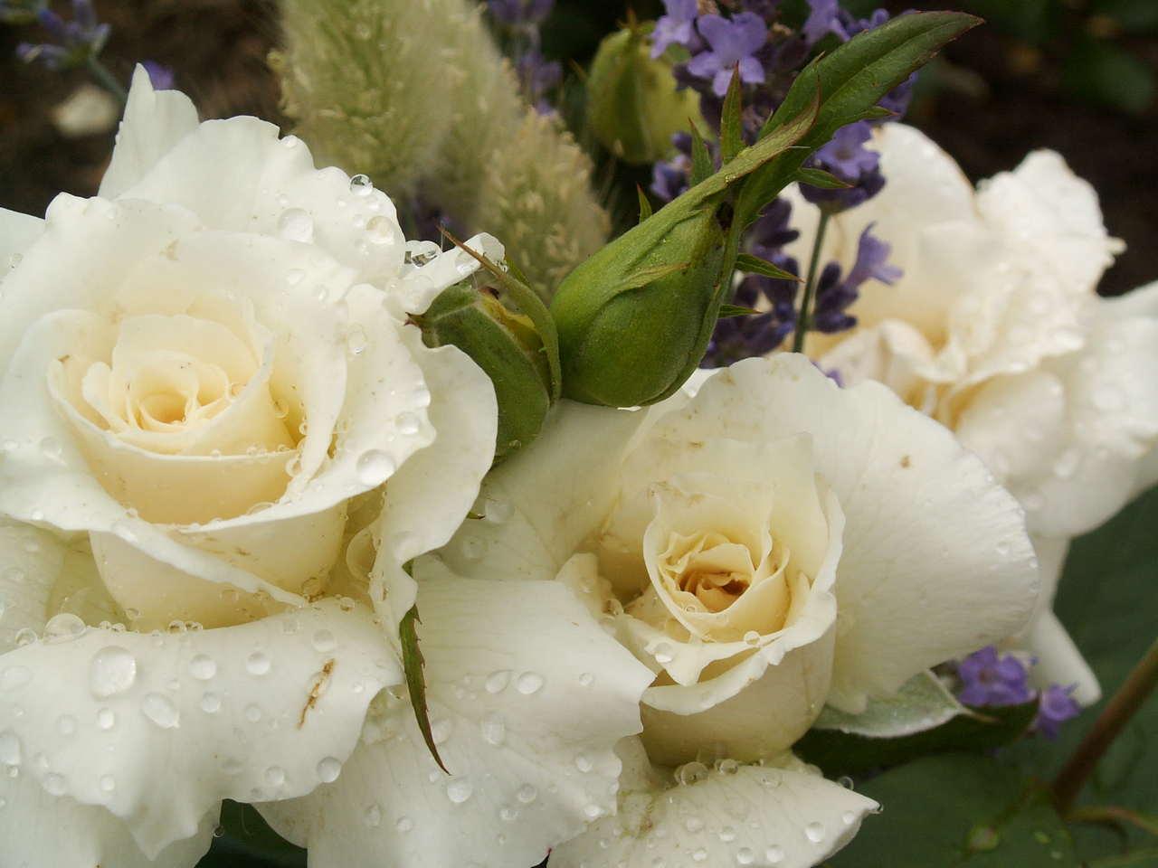 uprawa róż doniczkowych