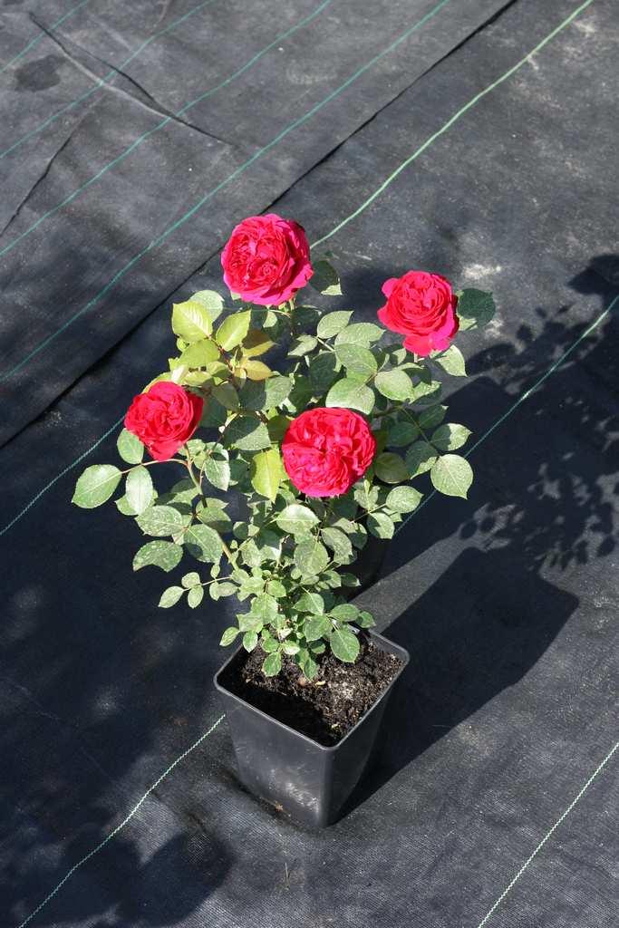 pielęgnacja róż wdoniczkach