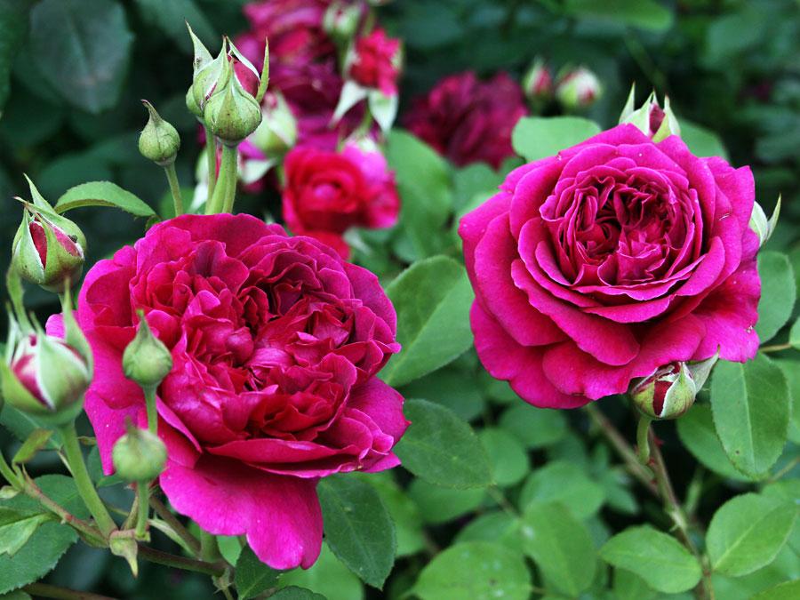 Róże doniczkowe – uprawa odAdoZ