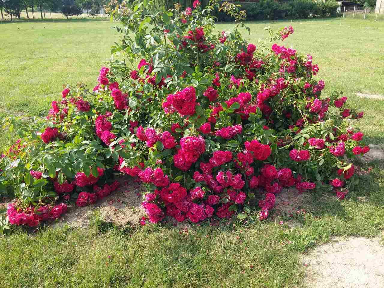 Róże swobodnie rosnące – wizytówka ogrodu
