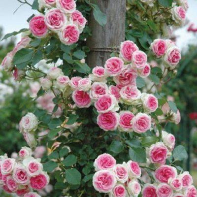 róża eden rose