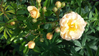 ghislaine de feligonde róża pnąca