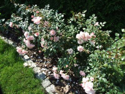 stale kwitnąca róża rabatowa bonica