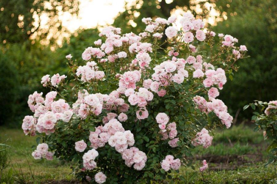 Róża niejedno ma imię