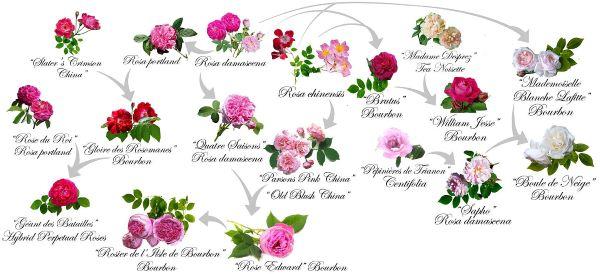 europejskie gatunki róż