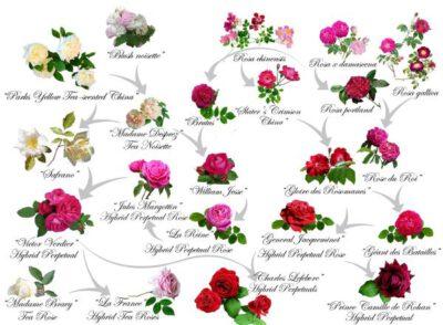 pozostałe odmiany róż