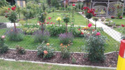 rabata róż w ogrodzie