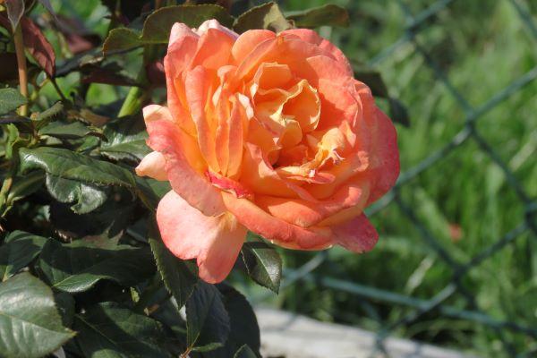 róża rabatowa pomarańczowa