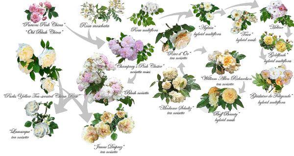 róże burbońskie