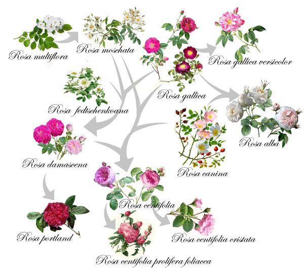 róże chińskie oraz herbatnie