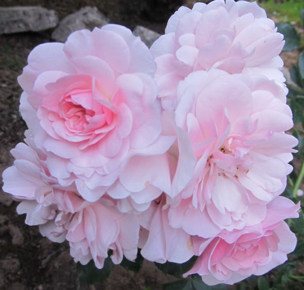 róże jasnoróżowe