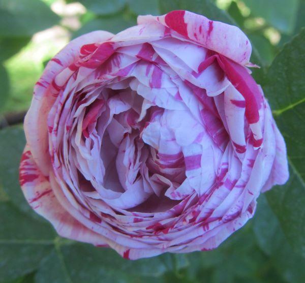 variegata di bologna pachnące róże historyczne