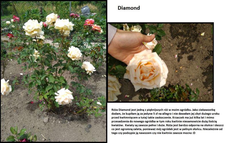róża diamond jubilee