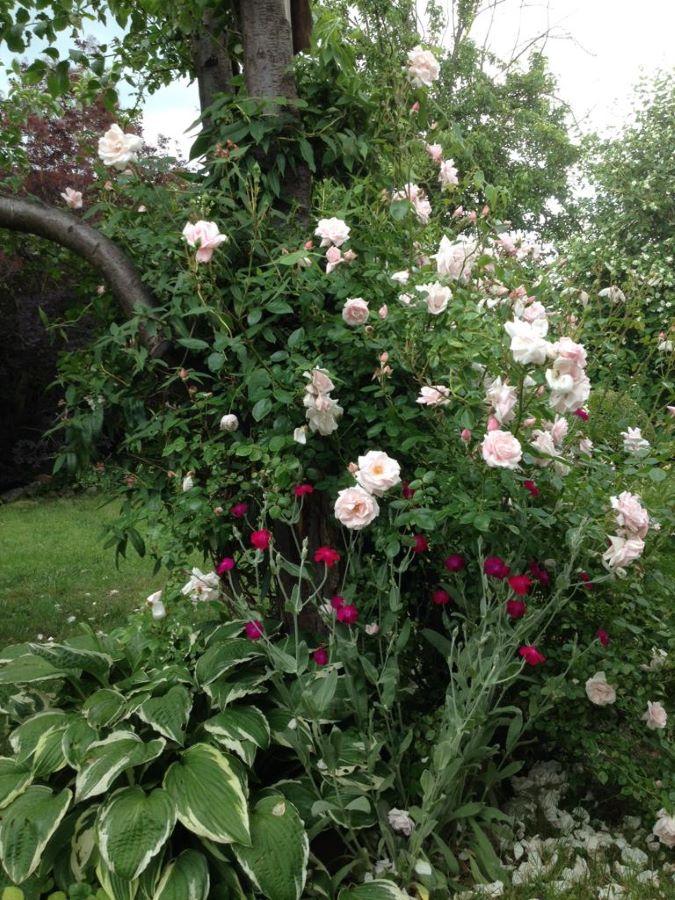 róża pnąca new dawn