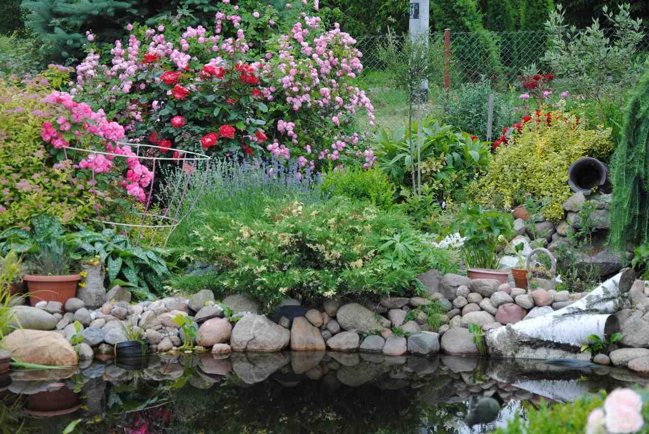 Róże nad oczkiem wodnym