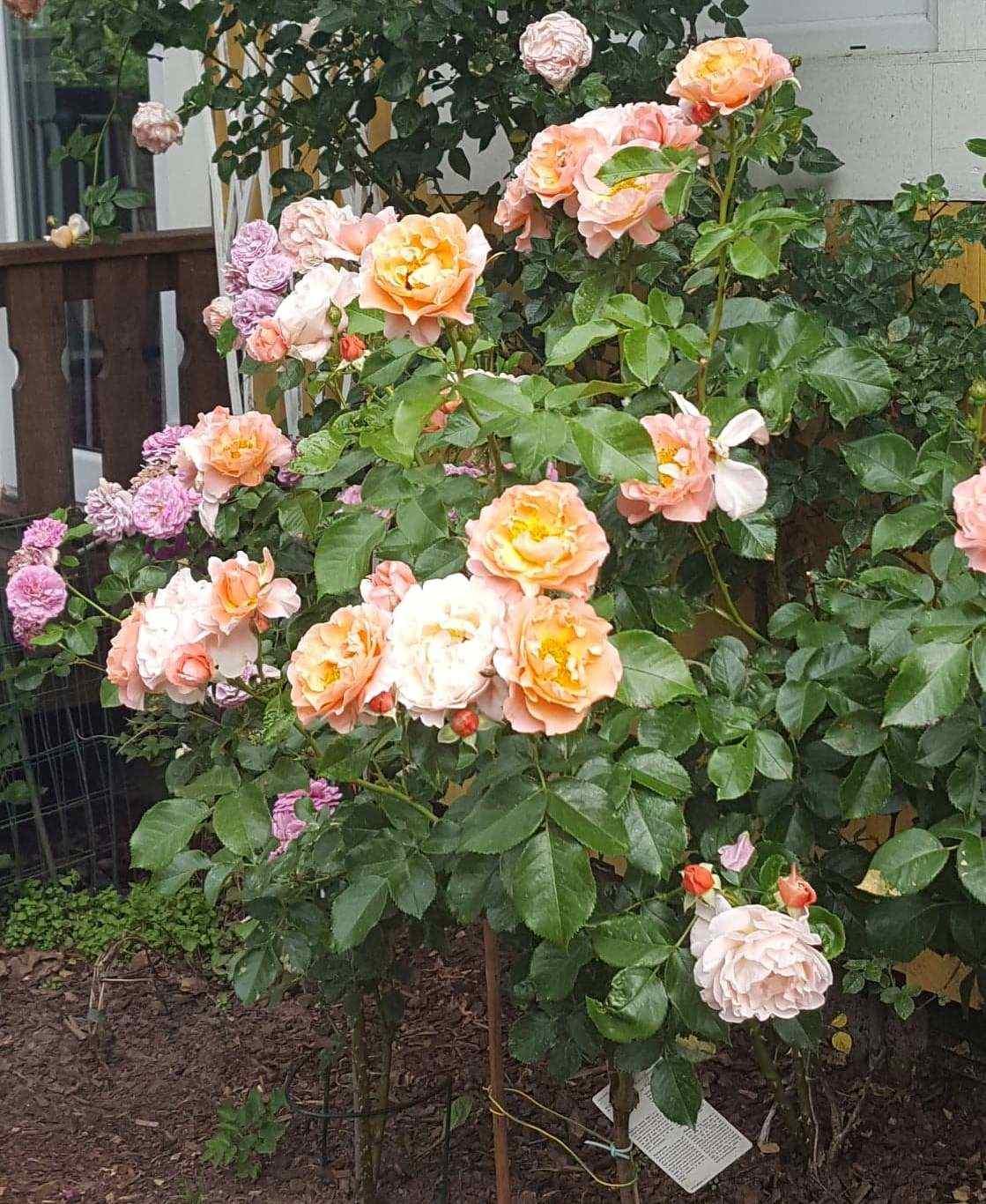 róża pnąca troika