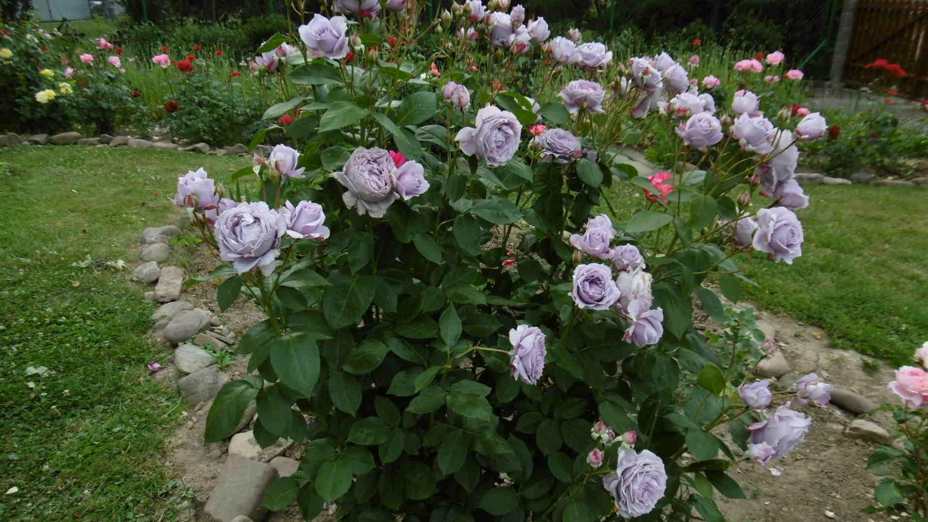 Urszula – różowy zawrót głowy