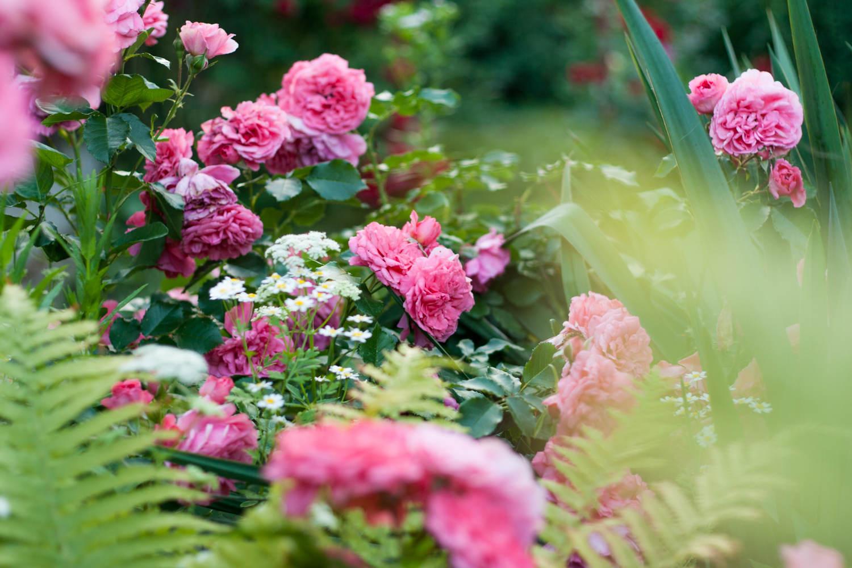 odmiany róży