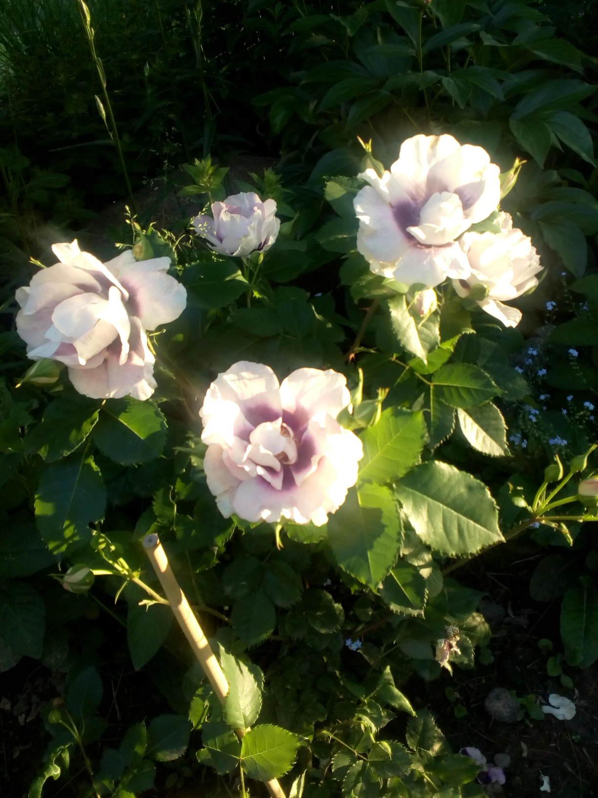 odmiana róży perskiej