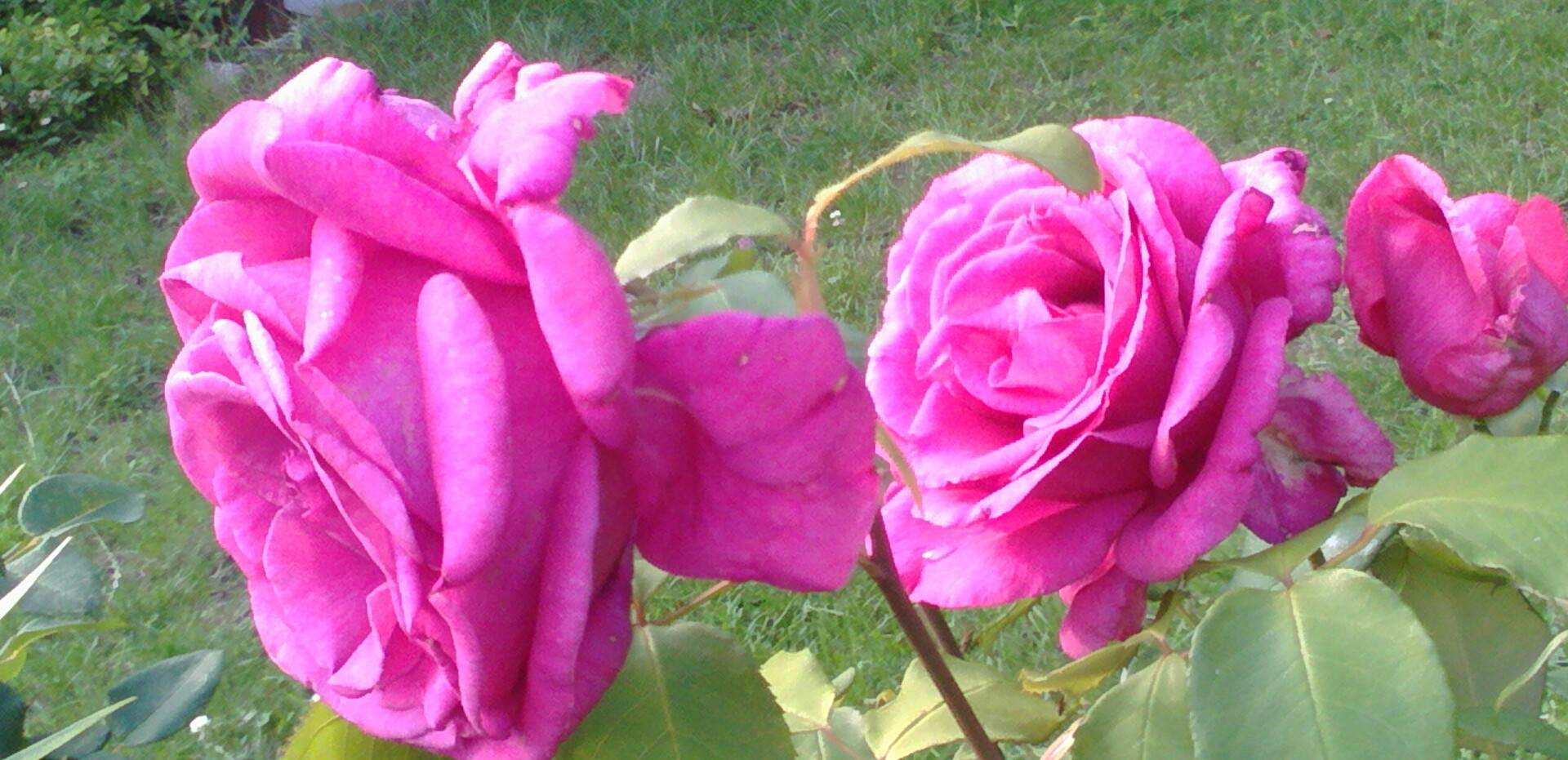 róża wielokwiatowa parole