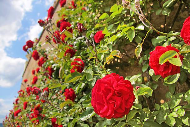 róże w cenie