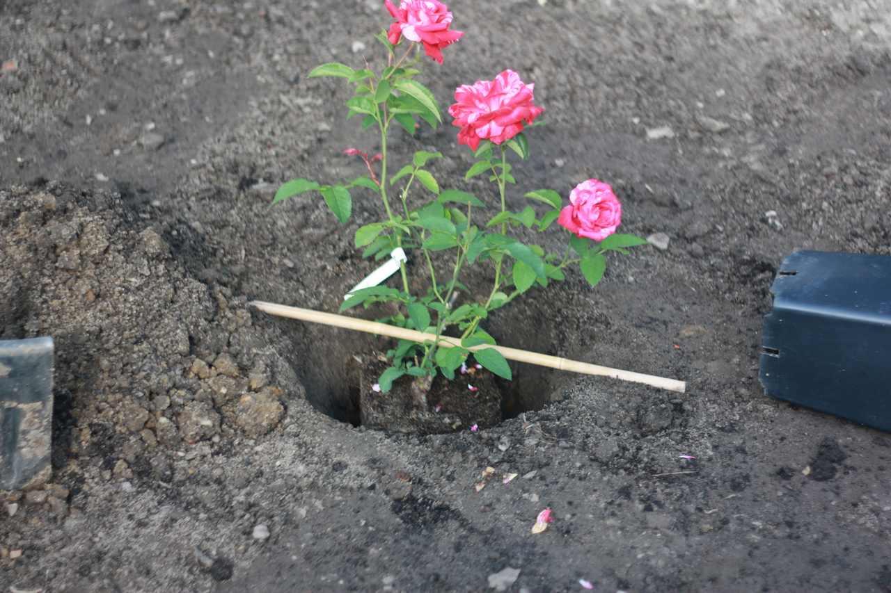 sadzenie róż krzaczastych