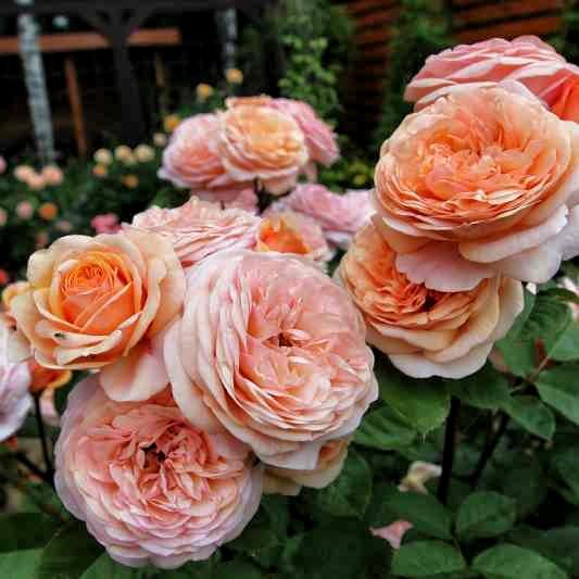 róże wielkokwiatowe Chopin