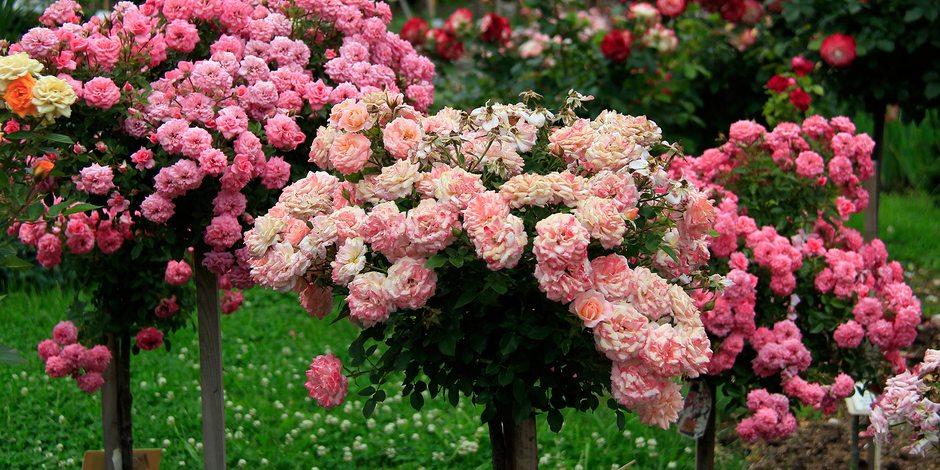 róże krzaczaste