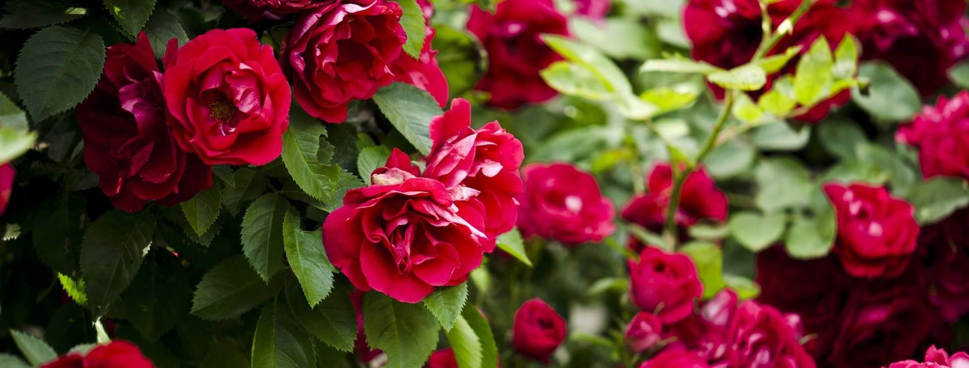 róże wiosna