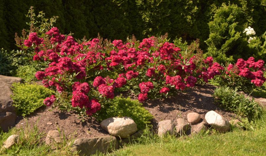 alberich róze okrywowe Pani Marysi