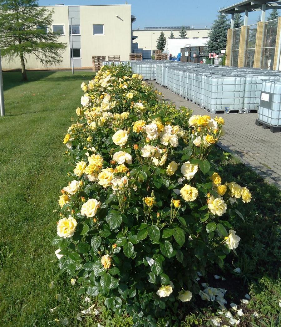Arthur bell róże rabatowe Pana Leonarda