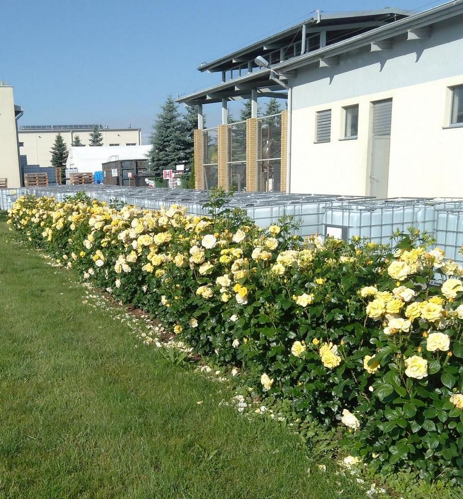 róże rabatowe arthur bell Pana Leonarda