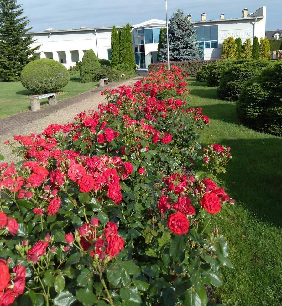 Europeana róże rabatowe Pana leonarda