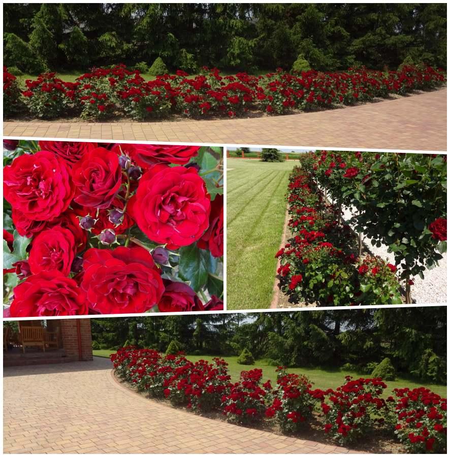 Lavaggio lavaglut róże okrywowe Pani Zofii
