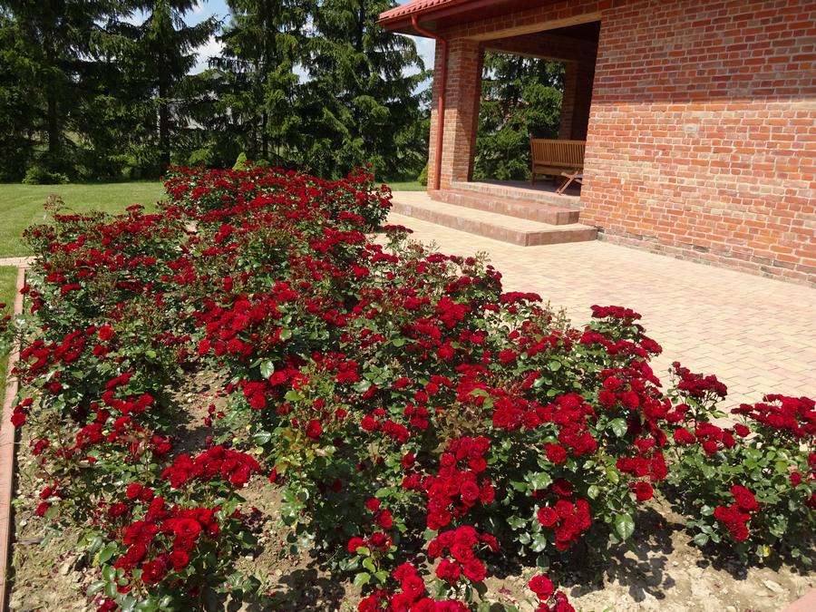 bordowe róże okrywowe Pani Zofii Lavaggio lavaglut