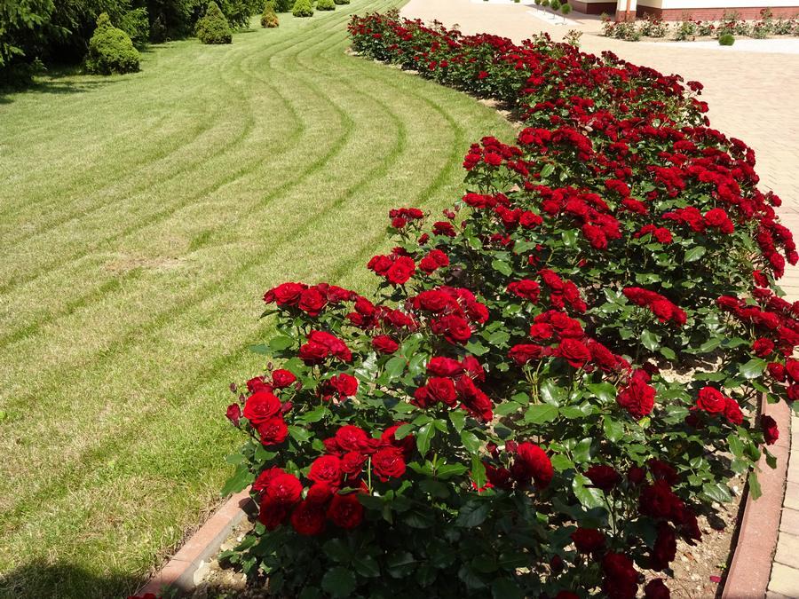 odporne róże okrywowe Pani Zofii Lavaggio lavaglut