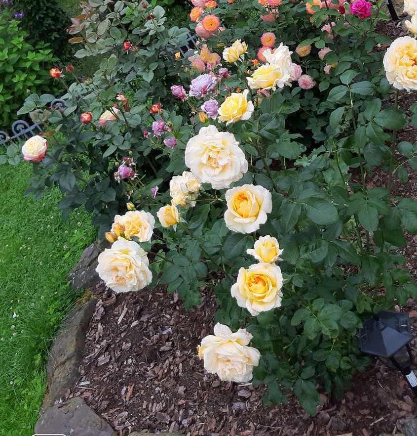 casanova róża wielkokwiatowa Pani Edyty