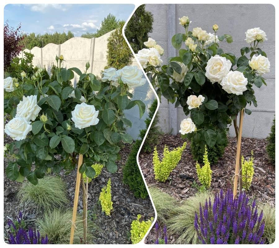 chopin róże pienne Pani Julity