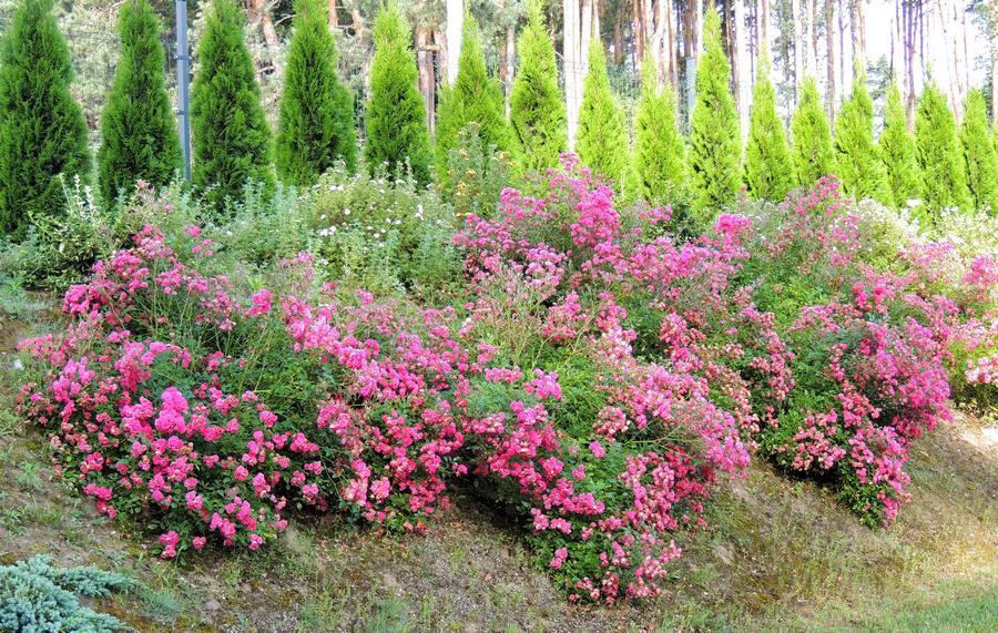 pink fairy różowe róże okrywowe Pani Emilli