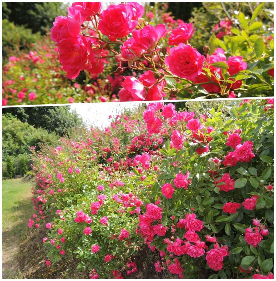pink fairy róże okrywowe Pani Emilli