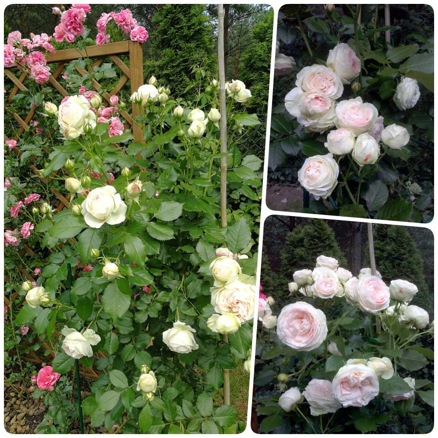 rajska róża Pani Jolanty