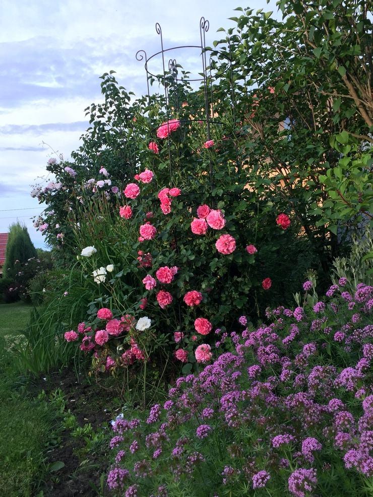 roza pnaca Pani Hanny