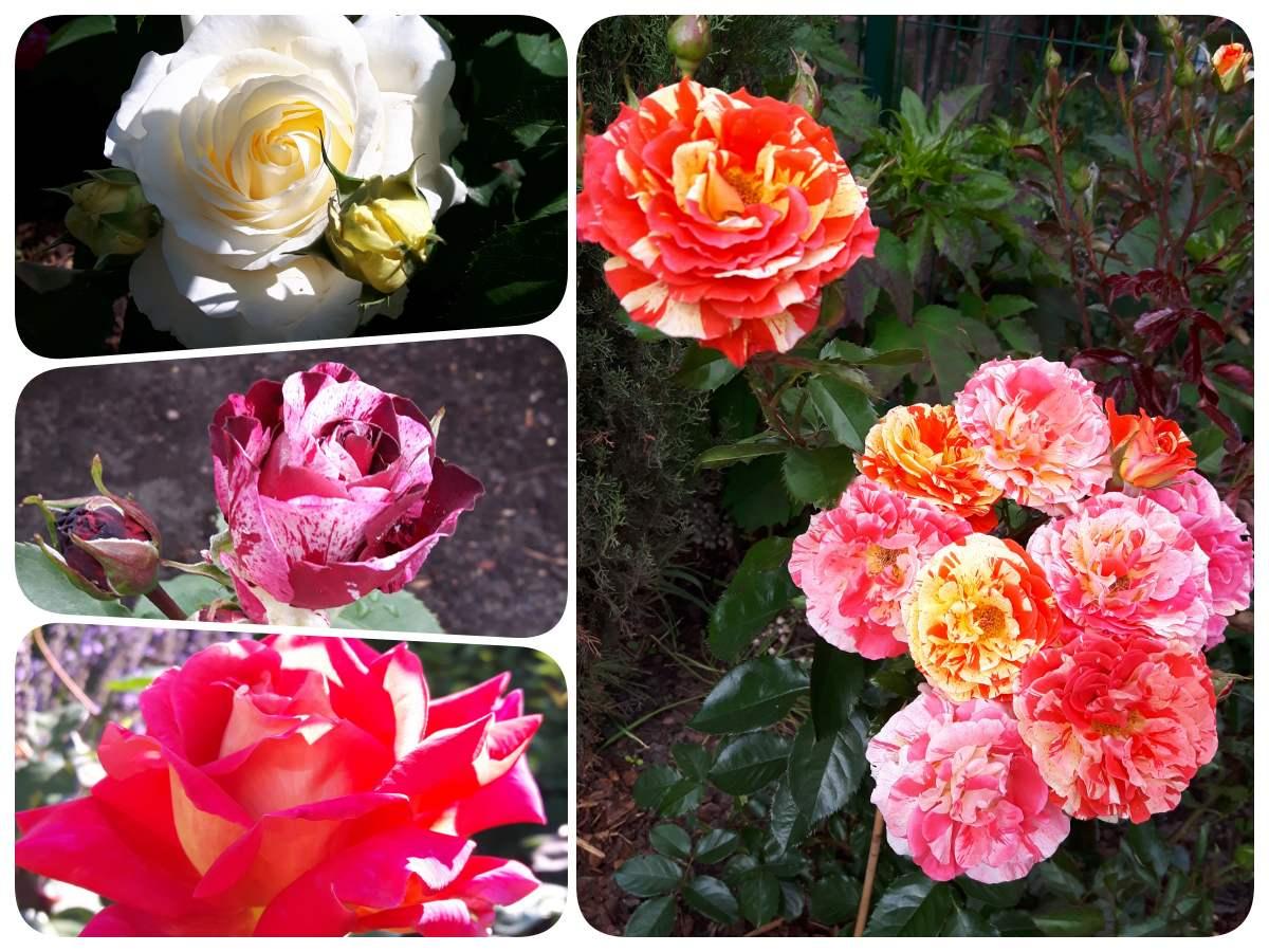 róże Pani Hanny z Gostynia