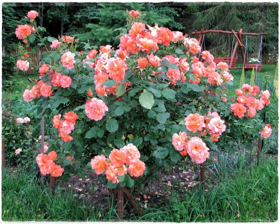 westerland róże krzaczaste od Pani Elwiry