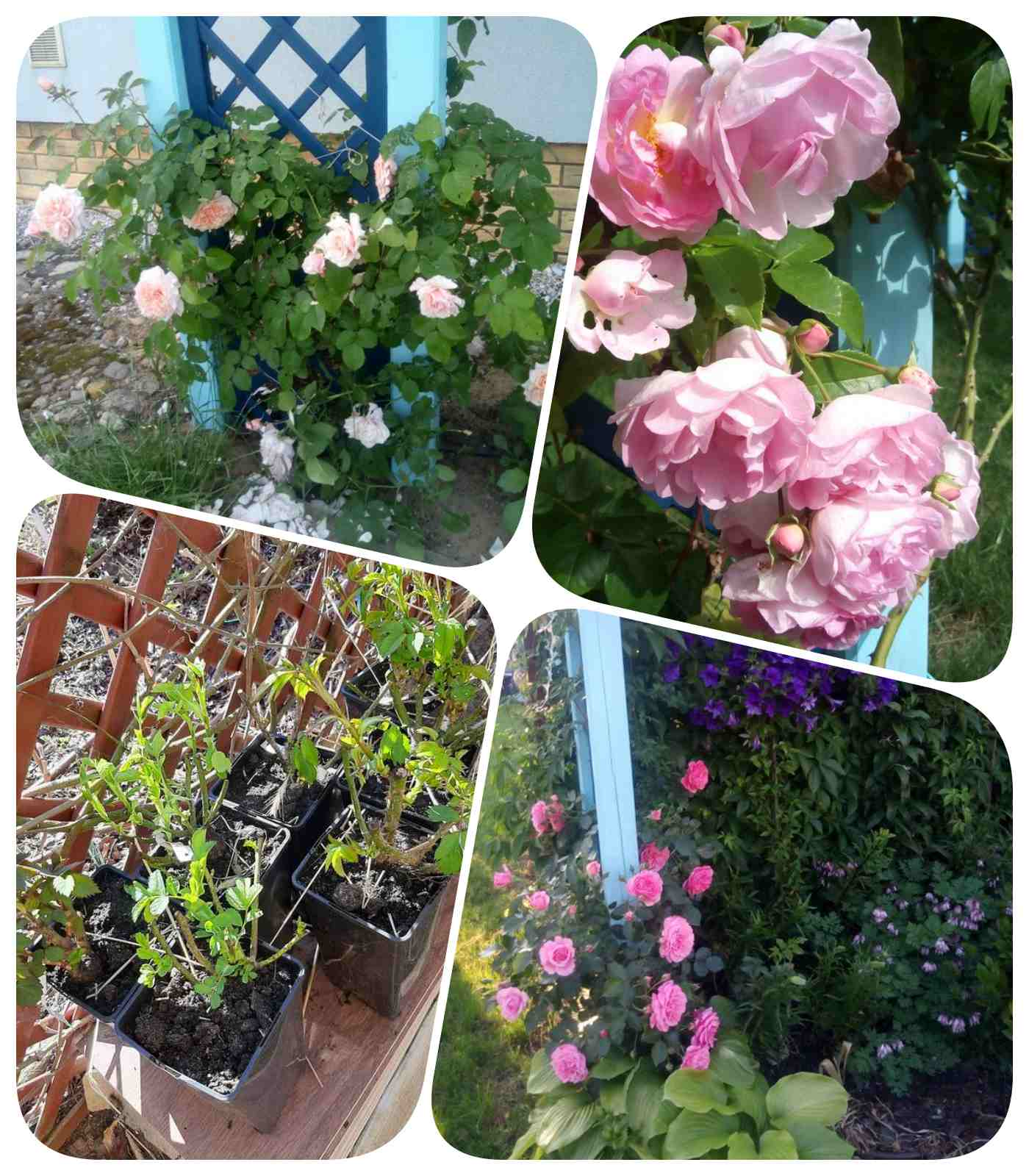 róże Pani Agaty