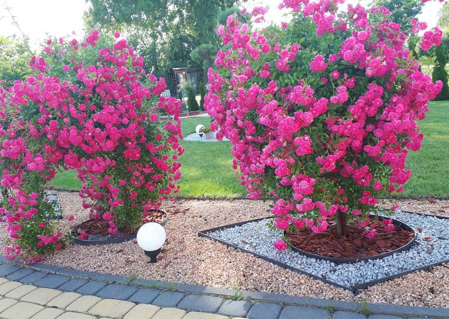 róze pienne zwisające super excelsa