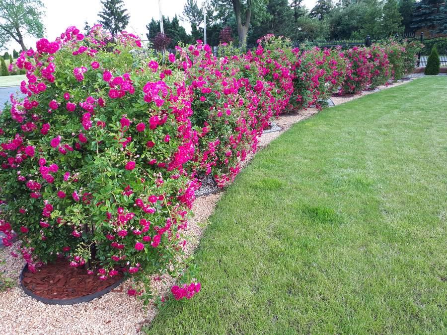 super excelsa róże pienne zwisające