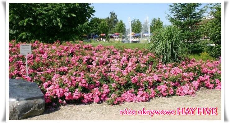 hay-five-roze-okrywowe